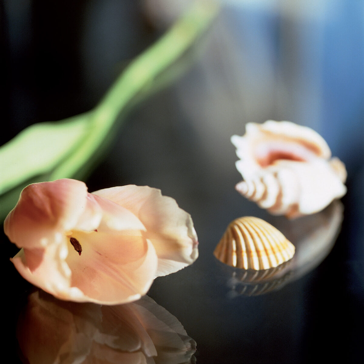 Tulipano e conchiglie